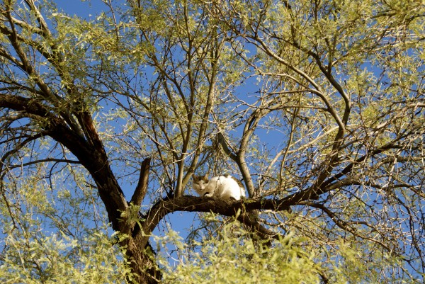 Cat in a mesquite tree