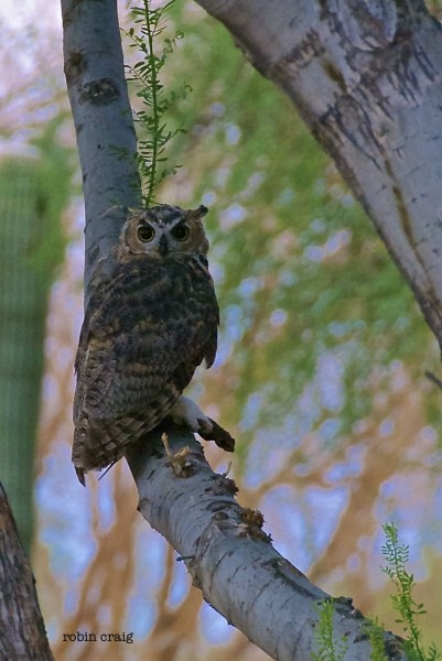 owl in the desert