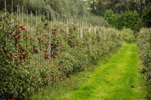Apple Trees in Holland