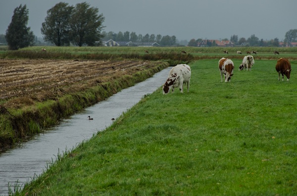 cows and pasture land in holland