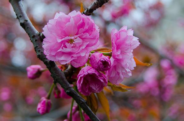 Cherry blossoms at Central Park Reservoir