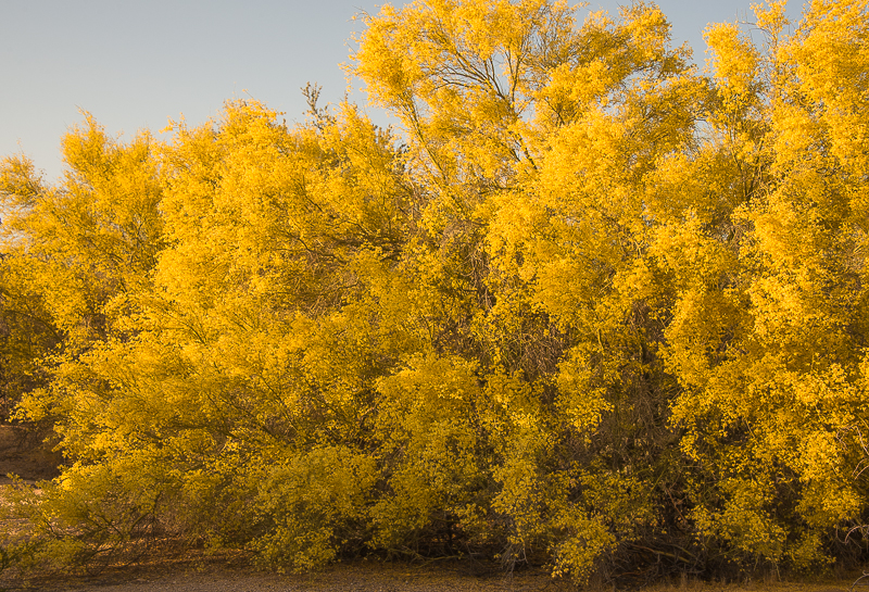 sonoran desert in yellow