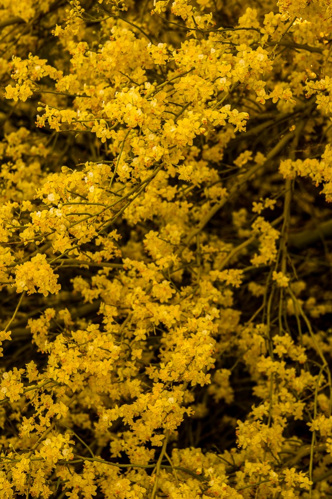yellow spring in the sonoran desert