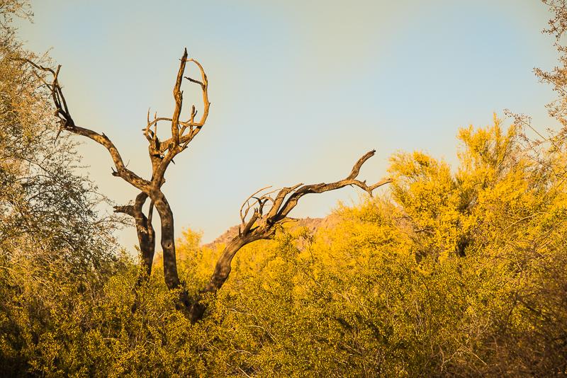 yellow in the sonoran desert