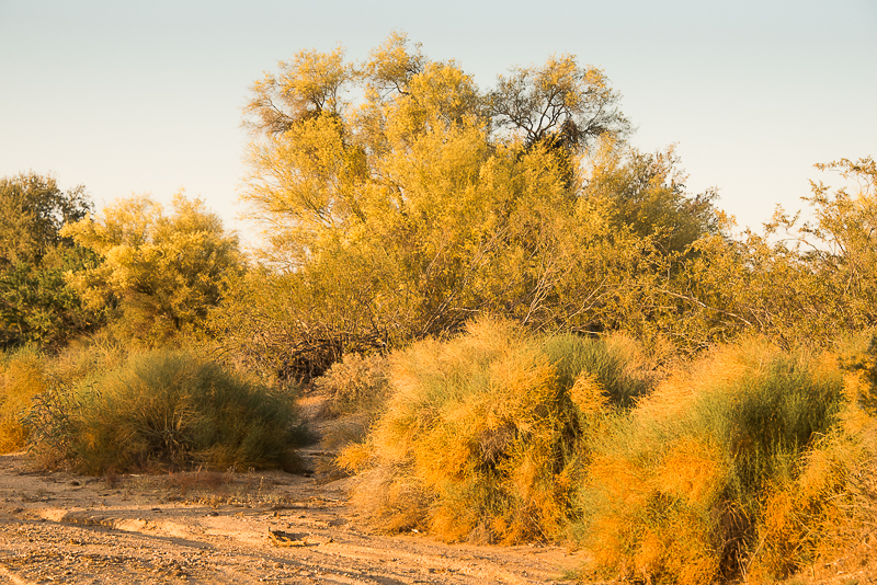 golden palo verde trees in arizona