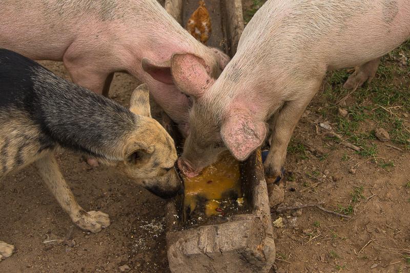 pigs in a remote village along the Rio Coco, Nicaragua