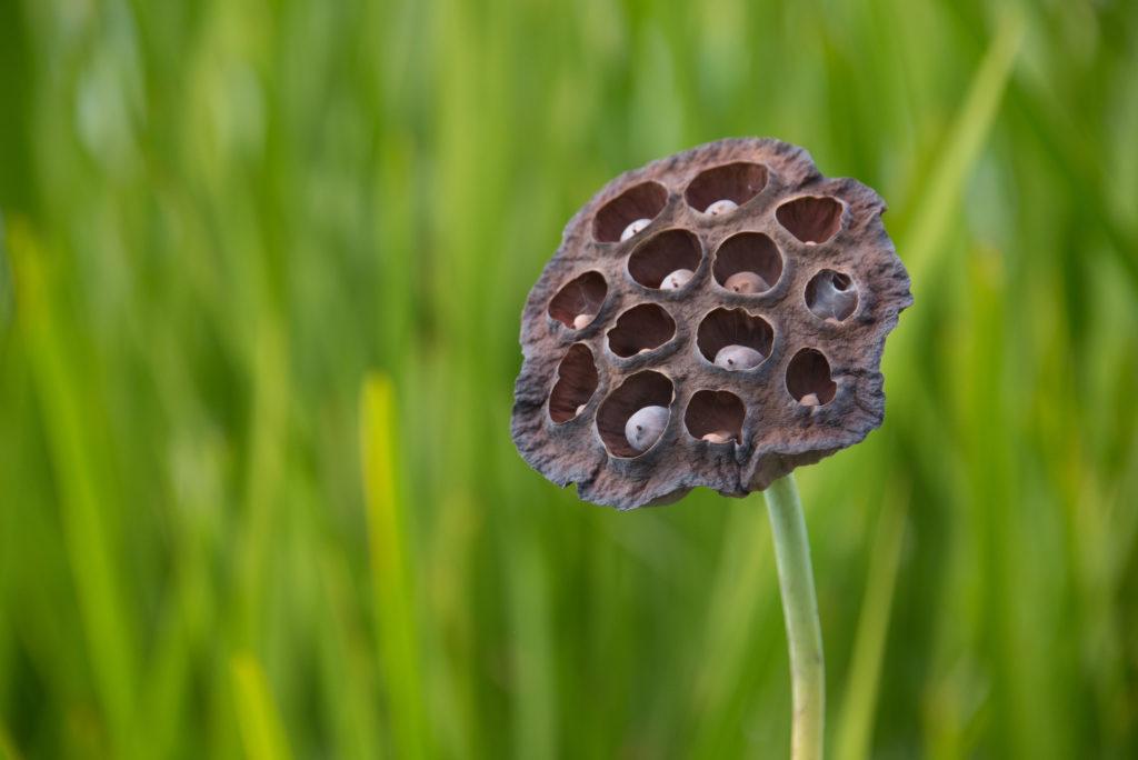 lotus seed pods at NYBG NYC