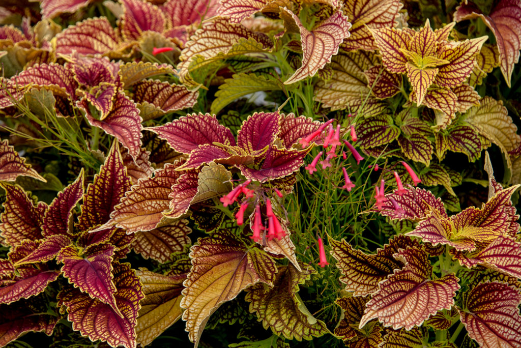 coleus at the New York Botanical Garden in NYC